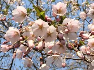 中島公園:桜